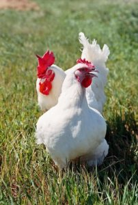 Male and female chickens, white leg