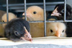 Chicken, Cage