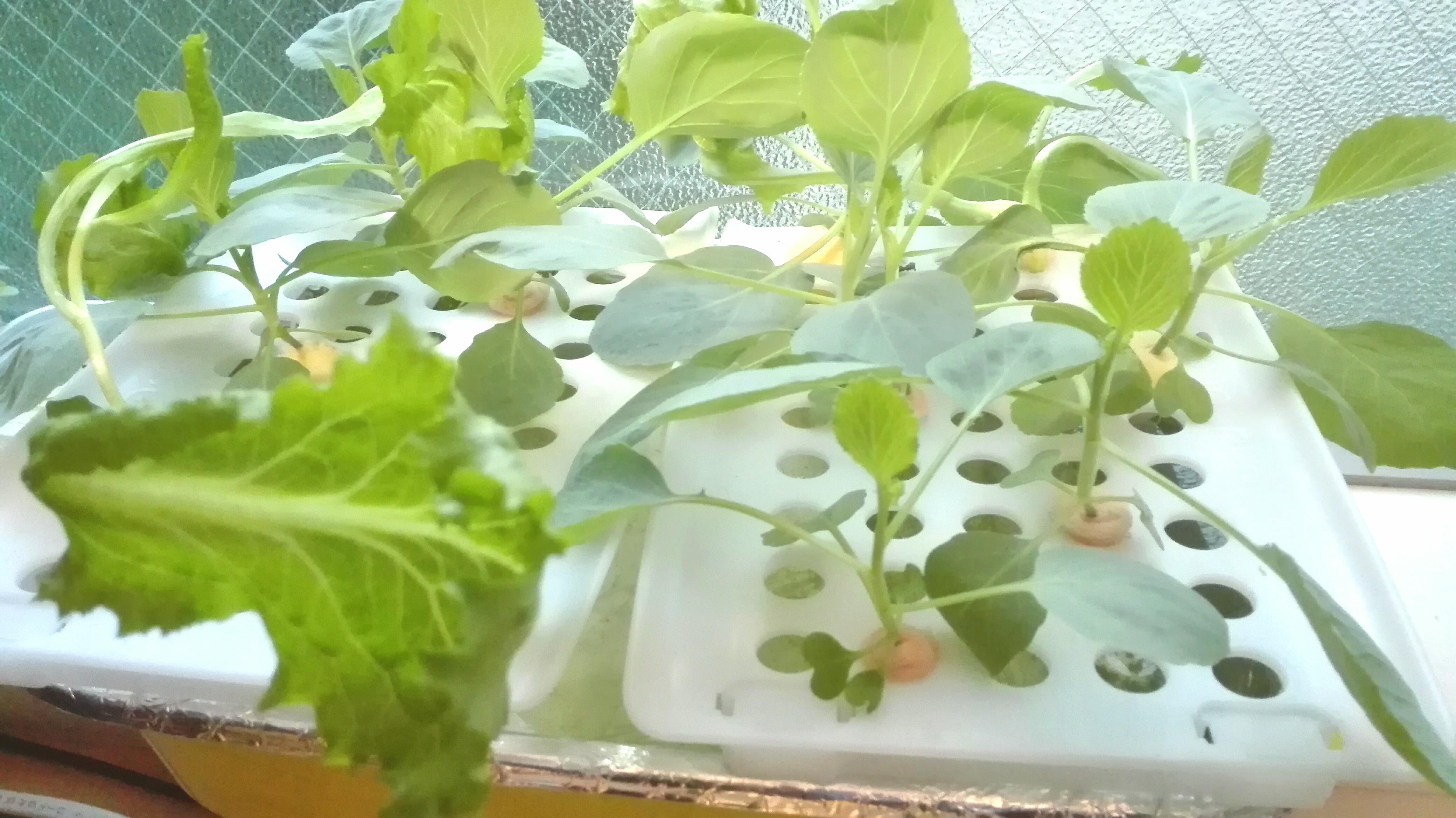 野菜 水栽培